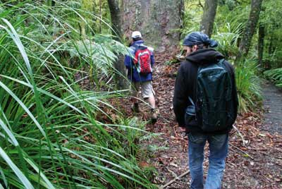 -kauri_forest_walks_2.jpg